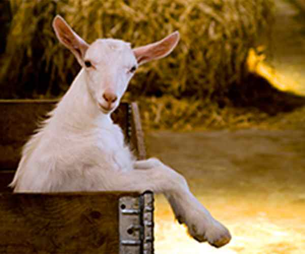 Photo for - New plans to grow the dairy goat industry in ON